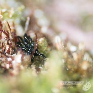 クロモウミウシ