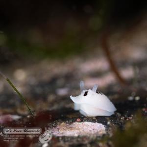 オセロウミウシ