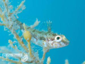 アナハゼ幼魚